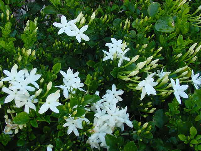 Flower growing zones fragrant white flower bush photos of fragrant white flower bush mightylinksfo